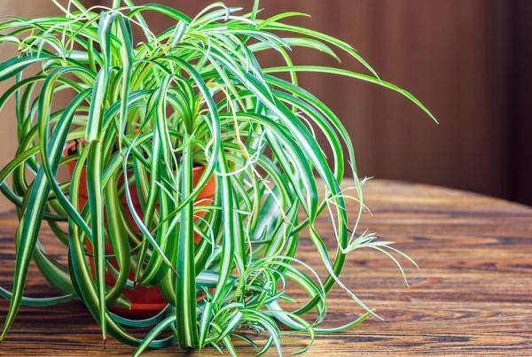 Plantas para el dormitorio según el Feng Shui - Chlorophytum o lazo de amor