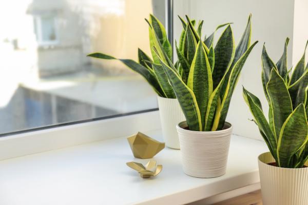 Plantas para el dormitorio según el Feng Shui - Sansevieria Trifasciata o planta lengua de suegra