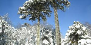 Araucarias o árboles coníferos: tipos, nombres y características