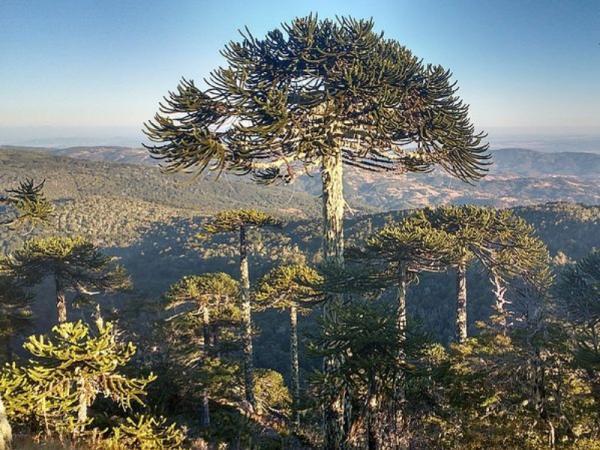 Araucarias o árboles coníferos: tipos, nombres y características - Nombres de araucarias o árboles coníferos