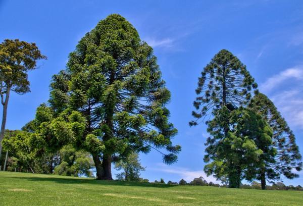 Araucarias o árboles coníferos: tipos, nombres y características - Tipos de araucarias o árboles coníferos