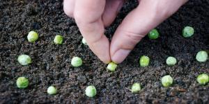 Cómo plantar guisantes