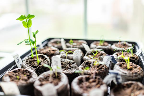 Cómo plantar guisantes - Cómo plantar guisantes en maceta