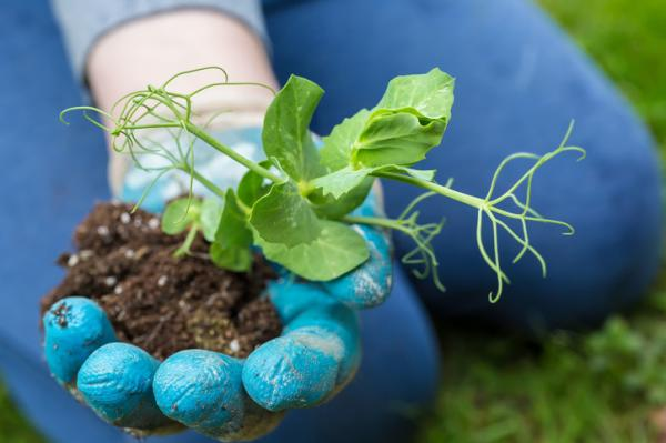Cómo plantar guisantes - Cómo plantar guisantes en suelo