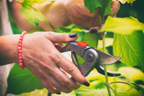 Cómo reproducir hortensias - Reproducir hortensias por esquejes