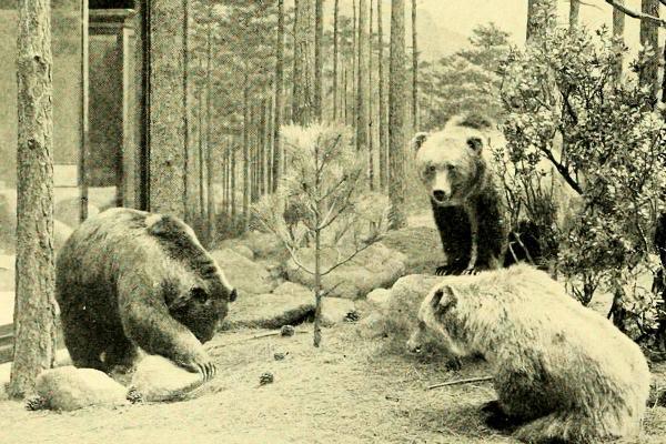 Por qué se extinguió el oso gris mexicano