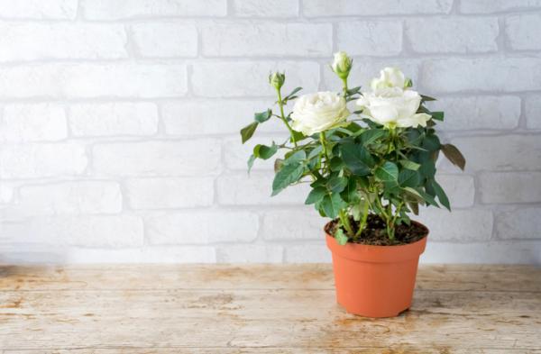 Cómo cuidar un rosal en maceta - Abono de los rosales en maceta
