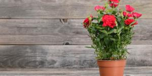 Cómo cuidar un rosal en maceta