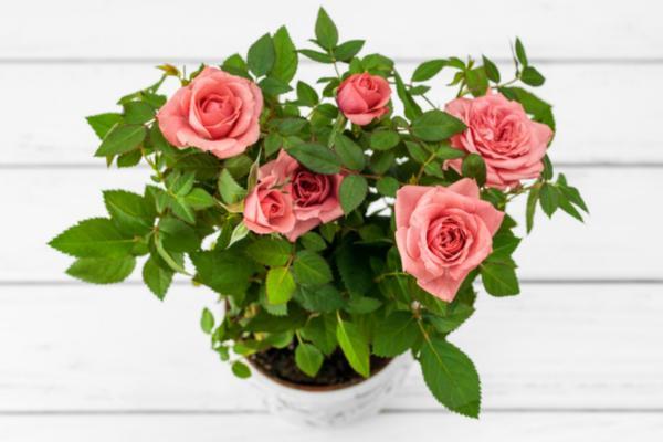 Cómo cuidar un rosal en maceta - Maceta para un rosal en maceta