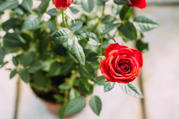 Plantas de interior con flor - Plantas de interior con flor resistentes