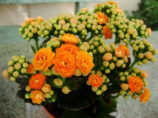 Plantas de interior con flor - Plantas de interior con flor todo el año