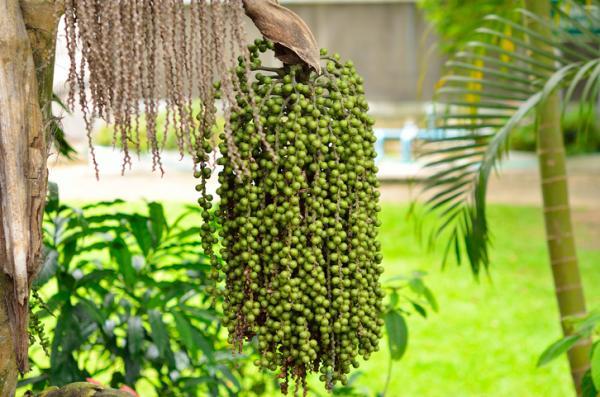 Tipos de palmeras - Caryota urens