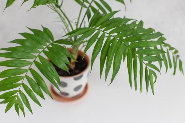 Tipos de palmeras - Chamaedorea elegans