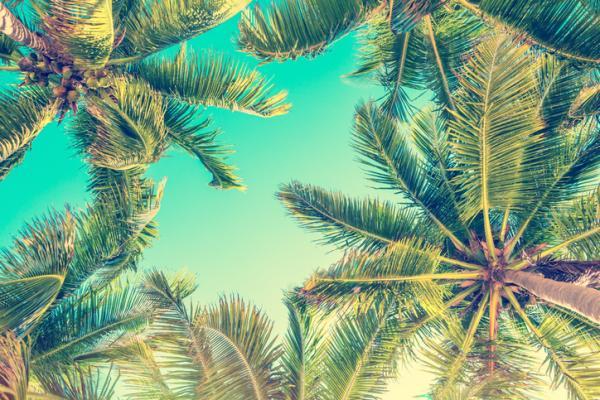 Tipos de palmeras - Cocos nucifera