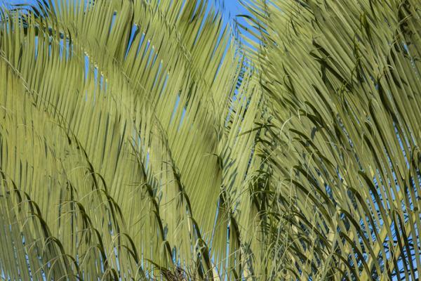 Tipos de palmeras - Dypsis decaryi