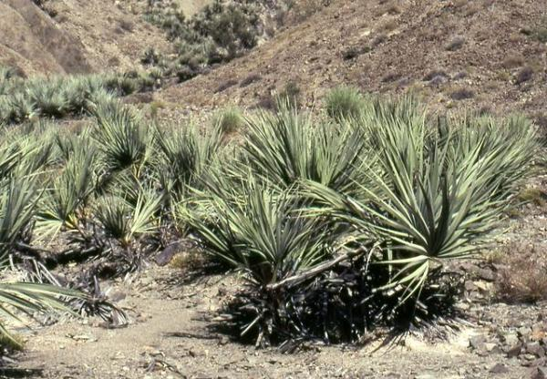 Tipos de palmeras - Nannorrhops ritchiana