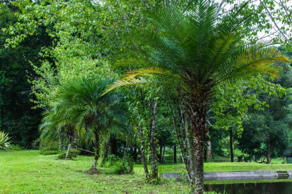 Tipos de palmeras - Phoenix roebelenii