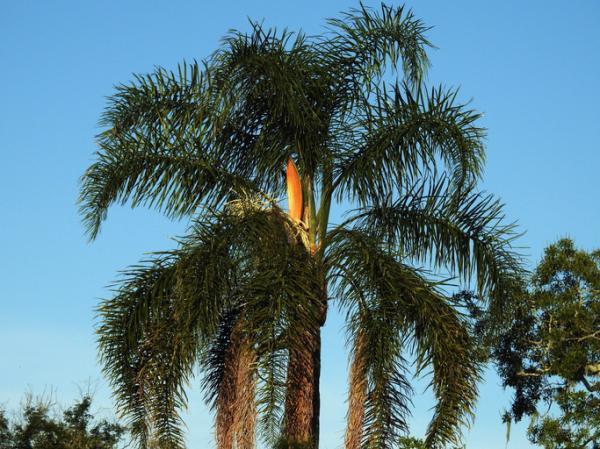 Tipos de palmeras - Syagrus romanzoffiana
