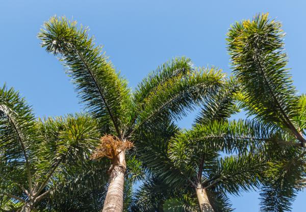 Tipos de palmeras - Wodyetia bifurcata
