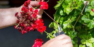 Podar geranios: cómo y cuándo hacerlo