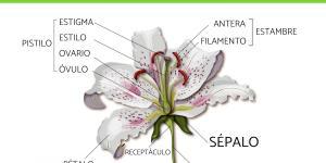 Qué son los sépalos y su función