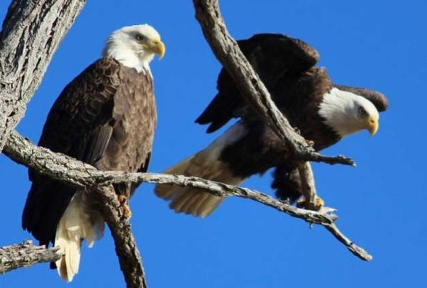 Animales de Estados Unidos - Águila calva