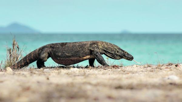 Por qué el dragón de Komodo está en peligro de extinción - ¿Por qué el dragón de Komodo está en peligro de extinción?