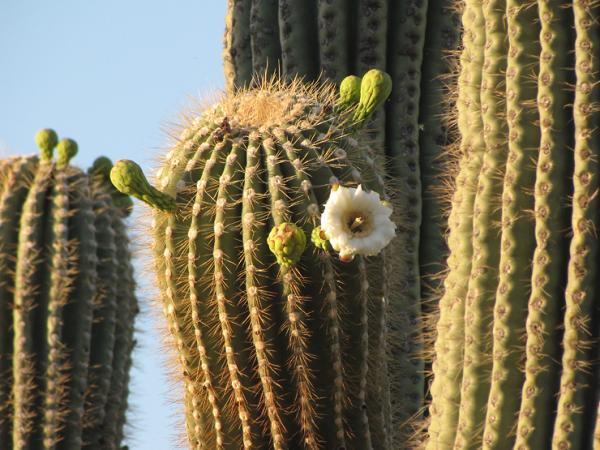 Plantas con espinas - Carnegiea gigantea