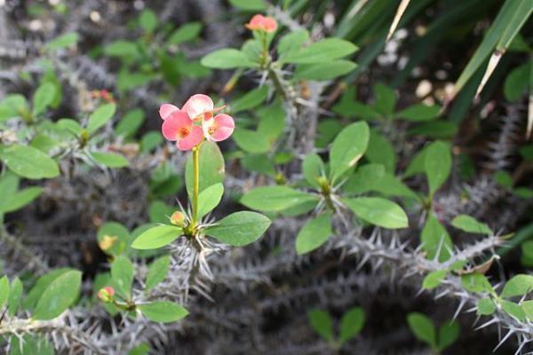 Plantas con espinas - Euhprobia milli