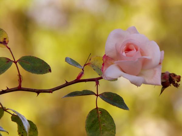Plantas con espinas - Rosal
