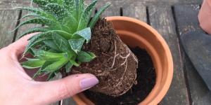 Trasplantar una planta: cuándo y cómo hacerlo