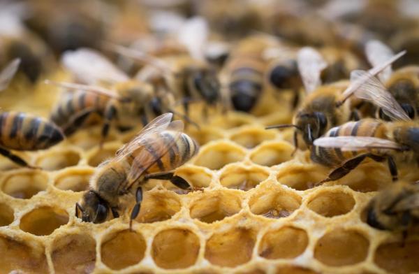 Diferencia entre abeja, avispa y abejorro - Diferencias en la sociedad de las abejas, avispas y abejorros
