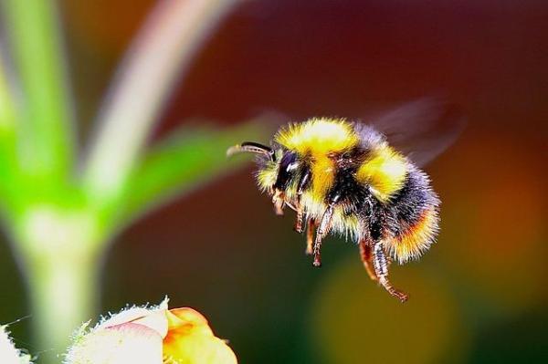Diferencia entre abeja, avispa y abejorro - Diferencias físicas entre abejas, avispas y abejorros