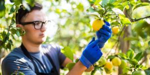 Insecticidas caseros para limoneros