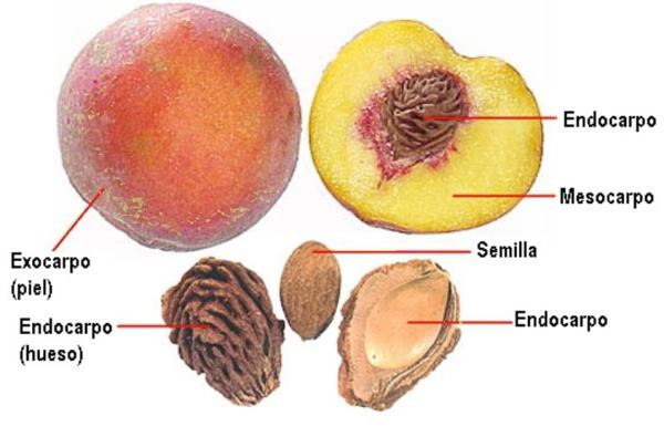 Partes de una planta y sus funciones - Fruto o fruta