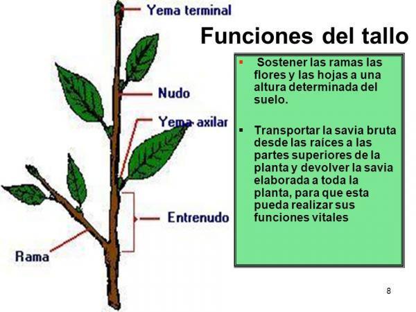 Partes de una planta y sus funciones - Tallo