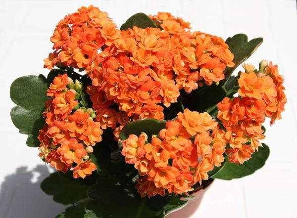 Planta kalanchoe: cuidados y para qué sirve - Kalanchoe blossfeldiana: cuidados