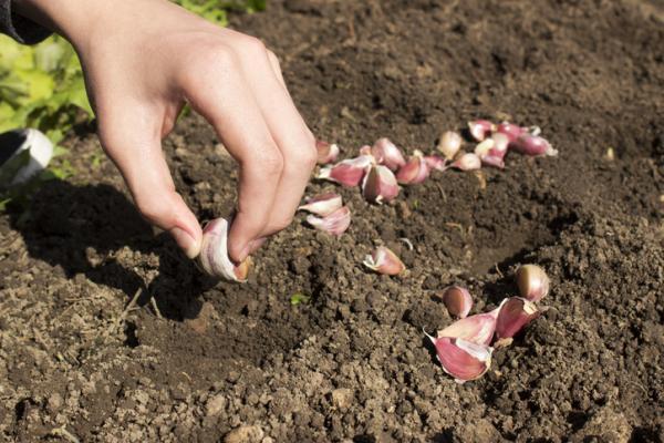 Cómo plantar ajos tiernos - Cuándo plantar ajetes o ajos tiernos