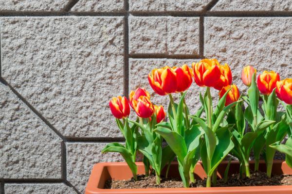 Cómo cuidar tulipanes en maceta - Cómo cuidar tulipanes en maceta - guía práctica