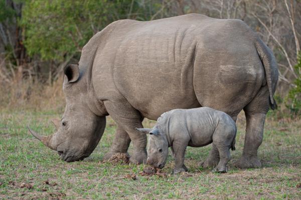 Rinocerontes en peligro de extinción - Rinoceronte blanco