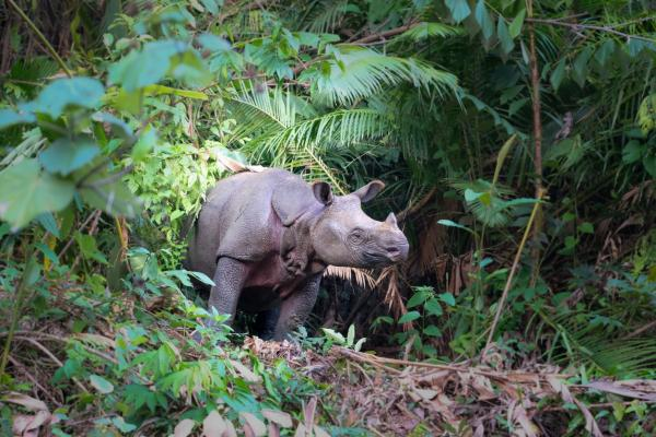 Rinocerontes en peligro de extinción - Rinoceronte de Java