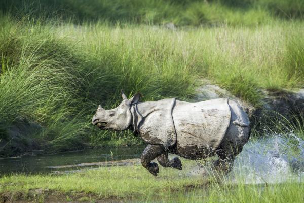 Rinocerontes en peligro de extinción - Rinoceronte indio