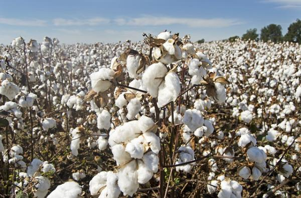 Cuánto tarda en degradarse el algodón - Impacto ambiental del algodón