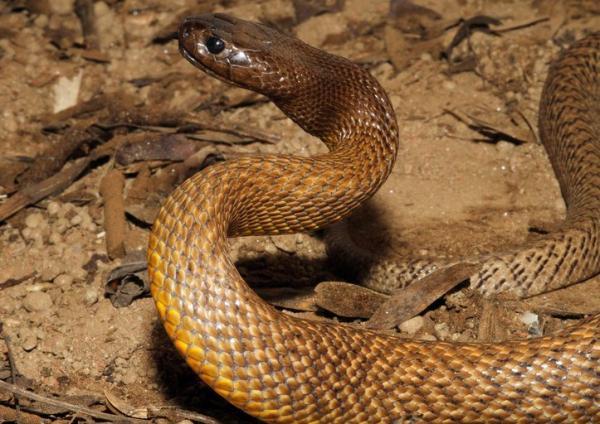 Cuál es la serpiente más venenosa del mundo - Características de la serpiente Taipán del interior