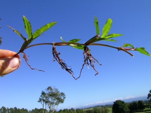 Reproducción asexual de las plantas: qué es, características, tipos y ejemplos - Tipos de reproducción asexual de las plantas