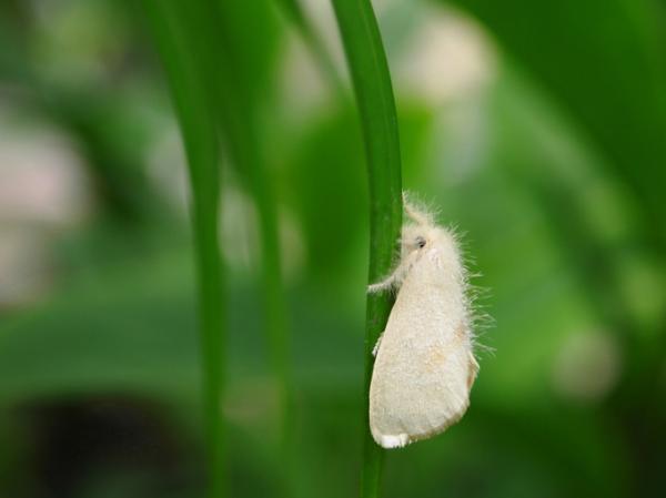 Mosca blanca: cómo eliminarla - Cómo identificar a la mosca - características y síntomas en las plantas