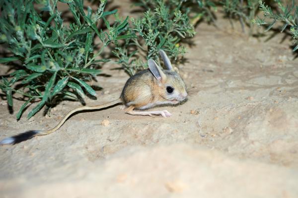 Animales del desierto del Sáhara - Jerbo de Egipto