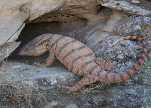 Animales del desierto del Sáhara - Varano del desierto
