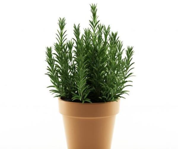Plantar romero: cómo hacerlo - Cómo plantar romero en maceta - paso a paso