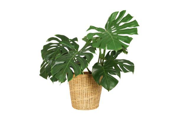 Plantas verdes de interior - Costilla de Adán